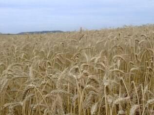 O início da colheita de Trigo fez com que os preços fechassem o mês de maio em baixa
