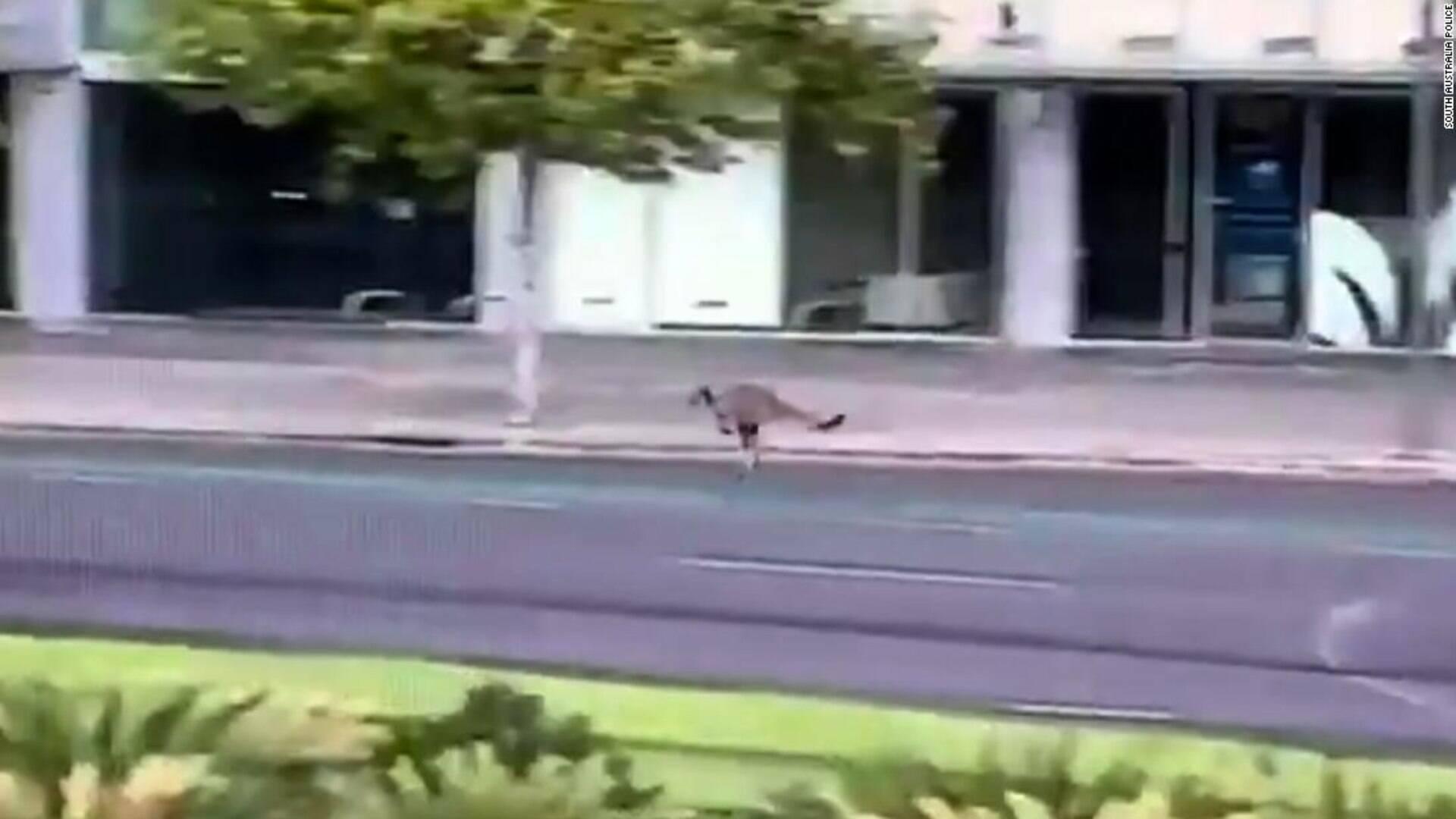 Canguru é filmado em rua de uma das mairoes cidades da Austrália ...