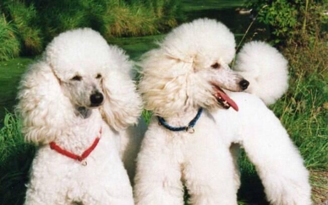 O Poodle é considerada a segunda raça mais inteligente