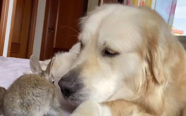 Coelhinhos acham que golden é sua mãe no vídeo mais fofo que você vai ver hoje