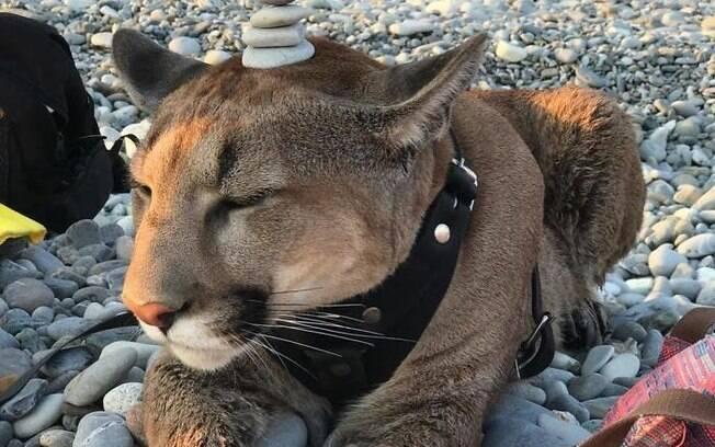 Puma resgatado é cuidado como gato doméstico