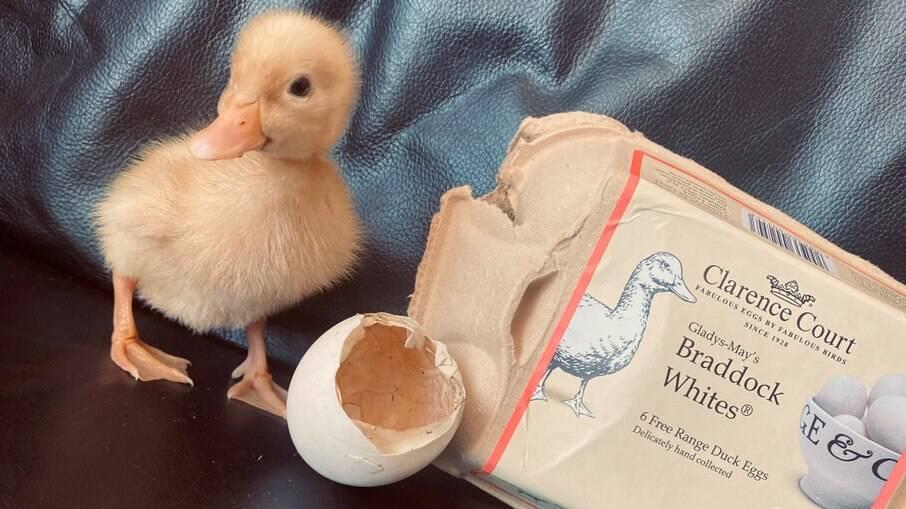 Patinho nasce a partir de ovo comprado em supermercado