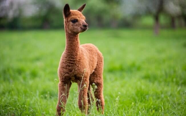 A fibra da Alpaca é macia e lisa