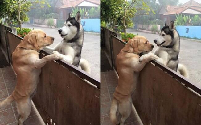 O labrador Messy e o Husky Audi provam que existe amizade até o mundo canino