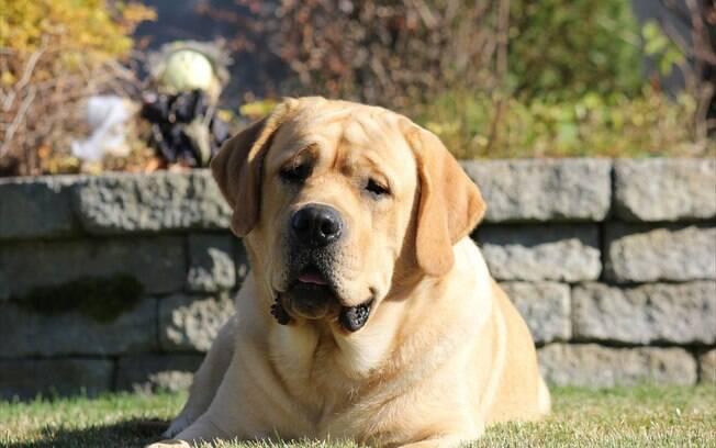 O Labrador é conhecido pelo temperamento dócil e hiperativo