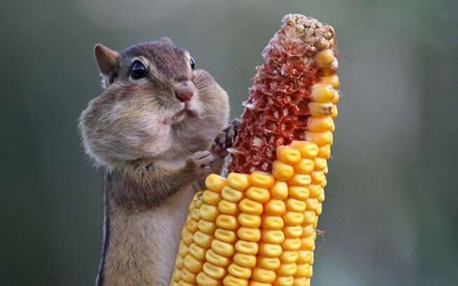 Esquilo comendo milho.