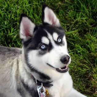 O Husky Siberiano se encaixa com o signo de cachorro  gêmeos