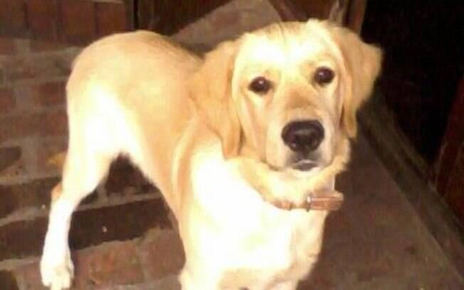 O cachorro da raça Golden Retriever, Yago, salvou a vida de um pombo