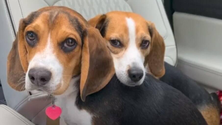 Yogi e Koda, dois cãezinhos da raça beagle se se uniram pela adversidade