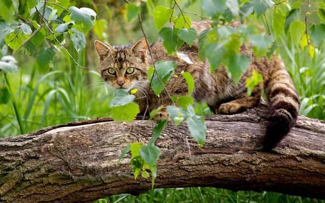 Gatos ferais serão mortos na Austrália