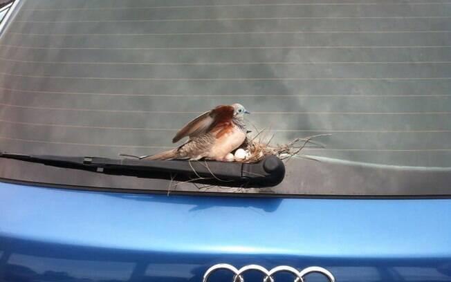 Essa mamãe que construiu o ninho no limpador de um carro