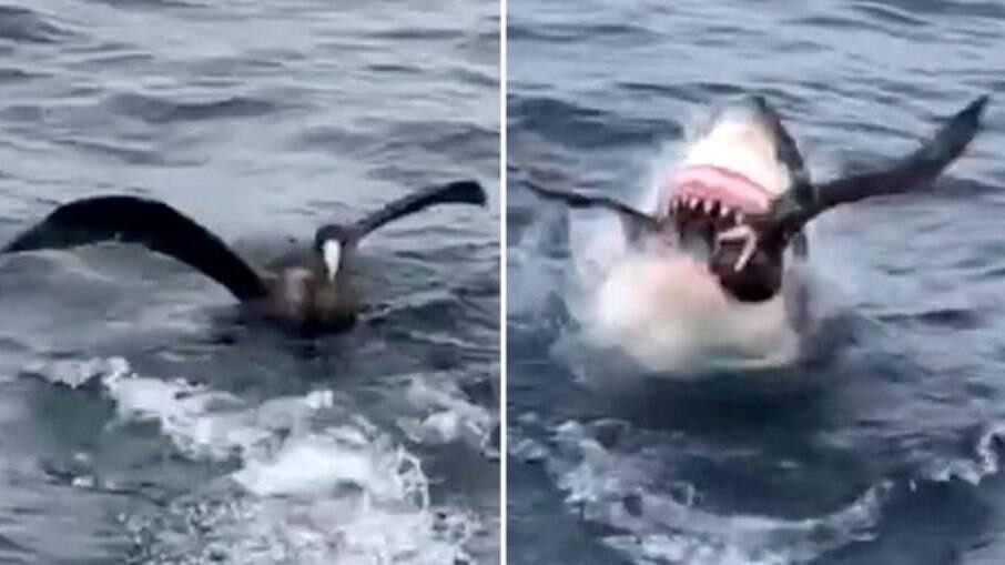 Tubarão branco é flagrado abocanhando pássaro marinho, na Austrália
