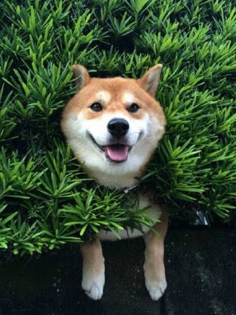 Essas fotos te convencerão a ter um Shiba Inu só para você