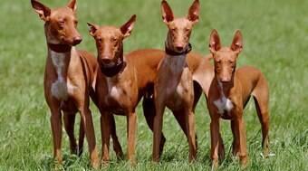Pharaoh Hound custa R$ 4 mil; veja os cães mais caros do mundo