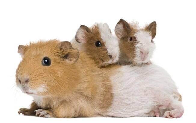 A porquinha da índia engravida com muita facilidade, por isso é preciso atenção e muito cuidados com ela