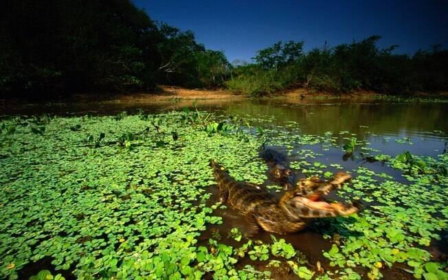 Pantanal: com uma população de milhões de jacarés, é fácil um deles cruzar o seu caminho