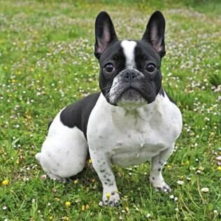 Bulldog Francês - undefined
