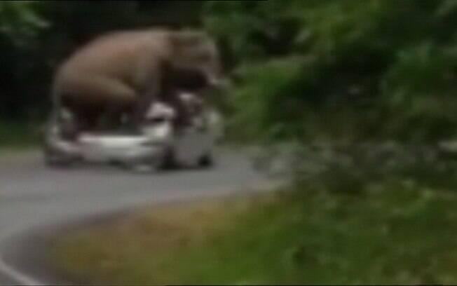 Comportamento agressivo pode significar que elefante está entrando na fase do acasalamento