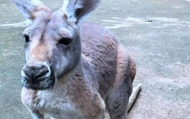 Ataque aconteceu depois que o canguru começou a ser perseguido pelo cachorro da vítima.;
