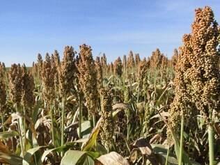 A cultura do sorgo em Minas Gerais é desenvolvida em áreas onde foi colhida a soja