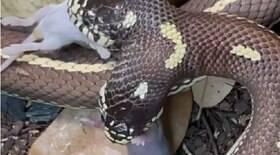 Cobra de duas cabeças come dois ratos ao mesmo tempo
