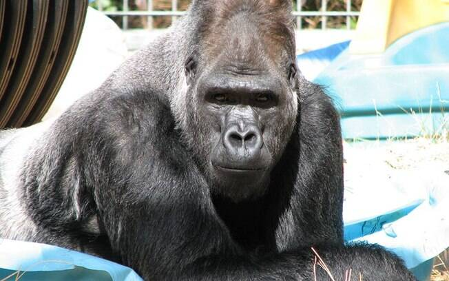 Gorila Koko, famosa por se comunicar com linguagem dos sinais, morre aos 46 anos em zoológico de São Francisco