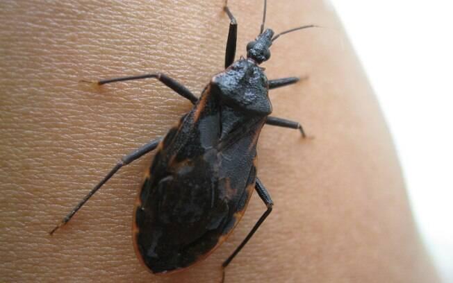 Doença de Chagas teve dois surtos confirmados na cidade de Acará, no estado do Pará, durante o mês de agosto