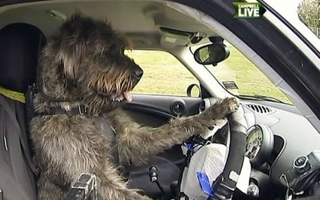 Cachorro aprendeu a dirigir carro adaptado