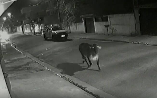 Vaca virou brincadeira na internet, após ser vista em diversos pontos da cidade