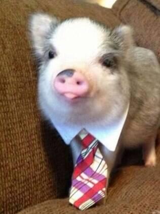 O porco passou a ser um animal de estimação