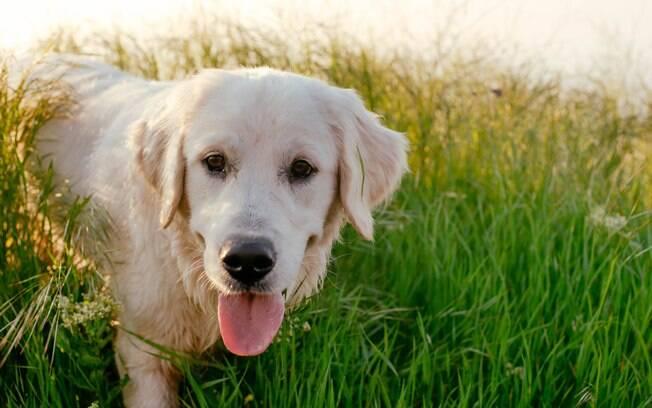 O labrador está na lista das dez raças de cães mais impopulares do Reino Unido