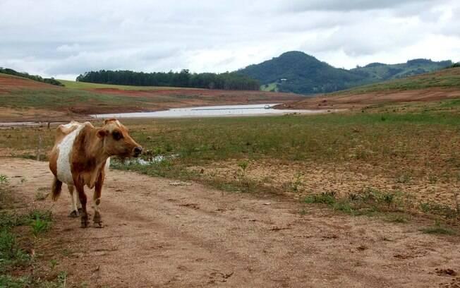 Vaca caminha pela Represa Jacareí, no dia 29 de janeiro: normalmente ali teria água