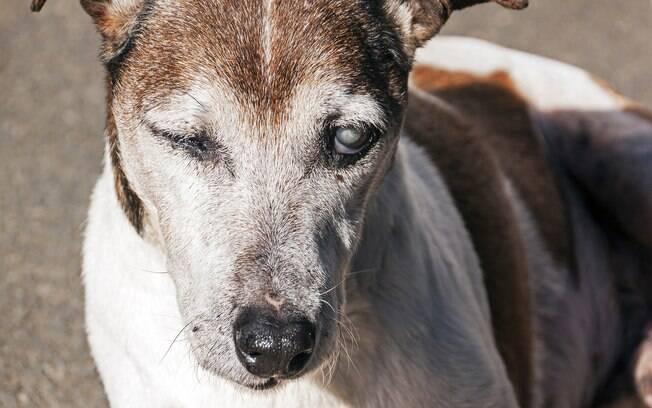 Um dos principais problemas dos cachorros idosos é a cegueira