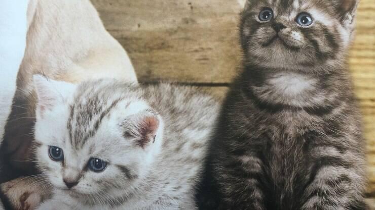 fea47a3f75f Como identificar um gato de raça de um gato vira-lata  - Curiosidades - iG