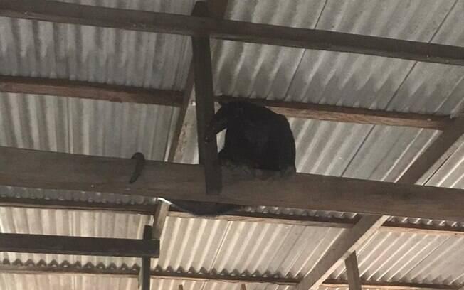 Animal se escondeu no teto da residência.