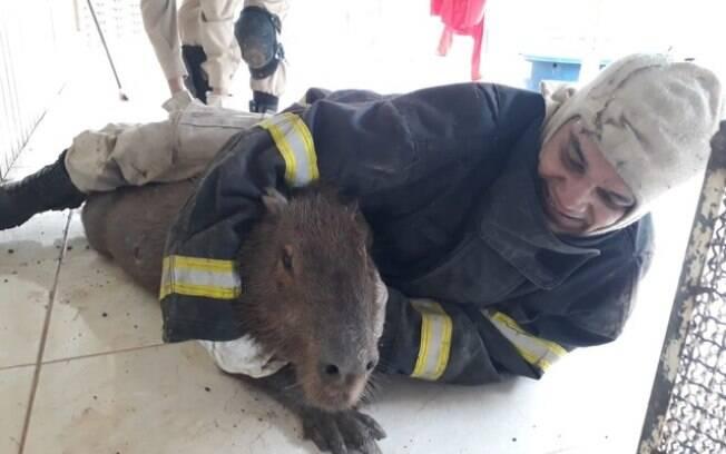 Capivara foi resgatada por bombeiro após invadir casa em Sinop, no Mato Grosso