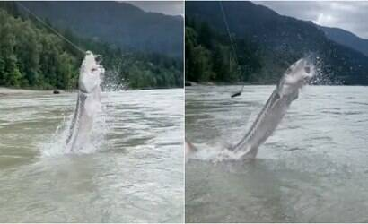 Peixe gigante morde isca, salta e surpreende pescadores