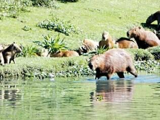 Situação. Cerca de 250 capivaras habitam a orla da lagoa da Pampulha, segundo estimativa da prefeitura