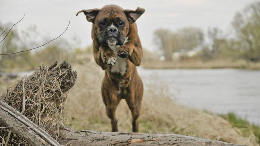 Cães atletas possuem condicionamento físico aprimorado com exercícios e alimentação