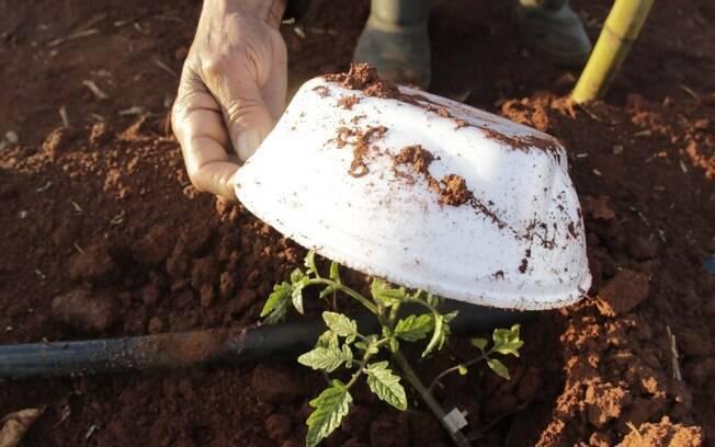 Para proteger plantação do frio agricultor usa embalagens de marmitex em Sumaré