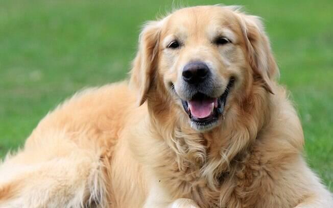 O Golden Retriver está no quarto lugar no ranking das raças de cachorro mais inteligentes do mundo