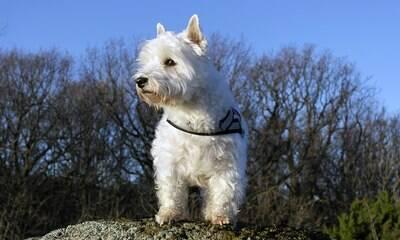 Criado para caça, West Highland Terrier é inteligente e protetor
