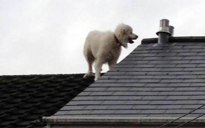 O cachorro gigante Ollie ficou preso no telhado