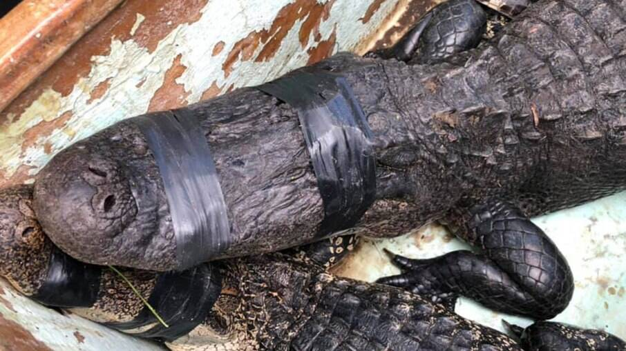 Dois crocodilos foram retirados da água