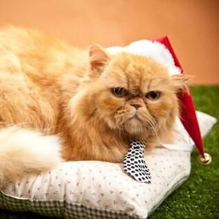 Bob, o fofucho gato persa de 3 anos, está pronto para a Noite Feliz, com gravata em seda de bolinhas e gorrinho de Papai Noel