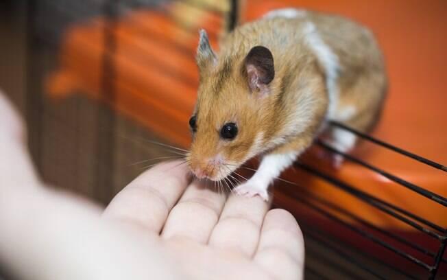 A maioria dos donos não imagina que um roedor pode morder. Por mais que uma mordida de hamster não seja exatamente dolorosa, não é comportamento desejado e nem deve ser ignorado