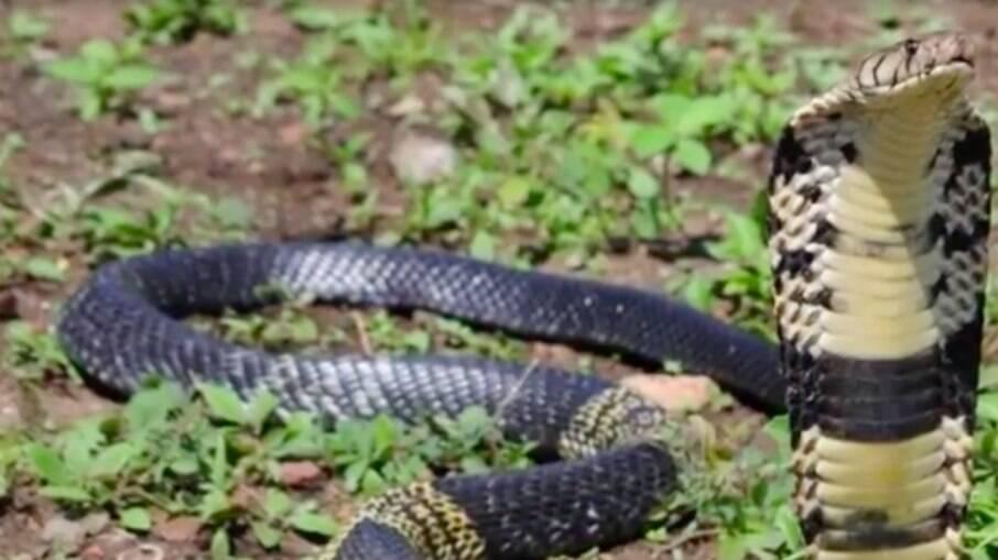Cobra naja desaparece de casa no Texas