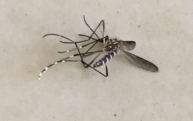 O moaquito Aedes já é capaz de transmitir doenças como