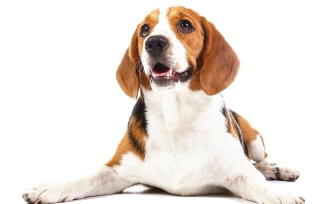 Beagle também representa as raças de cães dóceis, com seu jeito brincalhão e carinhoso