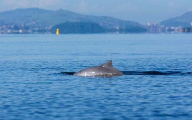 Diferente do golfinho rotador, o boto-cinza do litoral brasileiro é arisco e não gosta que cheguem perto dele